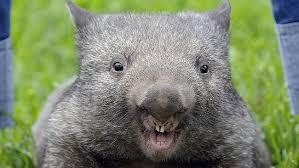 cryptid wombat