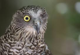 Wilga Powerful owl